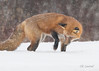 Target Acquired (CR Courson) Tags: mammals redfox fox wildlife wildlifephotography nikon naturephotography nature snow snowfall winter crcourson chuckcourson