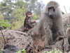 Baboon male & infant (David Bygott) Tags: africa tanzania natgeoexpeditions 171230 lake manyara lmnp baboon social behavior groom infant