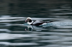 Harelde boréale Clangula hyemalis - Long-tailed Duck 0560_DxO.jpg (Zoizeaux de Gabriel) Tags: 500mmf4 batsfjord birdsafariofsweden clangulahyemalis danielgreen finnmark hareldeboréale longtailedduck nikond5 norvège oiseauxnet varanger