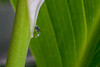 Peace Lily Teardrop (Vincent Ferguson) Tags: lily peace newyear spathe water spathiphyllum floral liquid flower wildflower teardrop white
