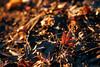 楓紅 (aelx911) Tags: a7rii a7r2 sony gmaster fe2470mmf28gm fe2470 fe2470gm landscape nature maple leaf macro autumn fall japan kyushu fukuoka dazaifu 日本 九州 太宰府 福岡
