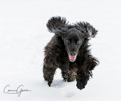 3/52 - Sammy 2018 (conniegavin12) Tags: 52weeksfordogs fieldspaniel spaniel dog pet snow winter