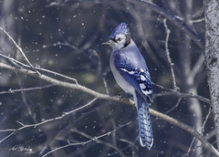 Blue Jay (Alec_Hickman) Tags: bird bluejay winter snow wildlife animal trees feathers colours nature canada maritimes