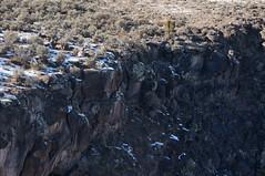 on the edge (rovingmagpie) Tags: newmexico taos riograndegorgebridge riograndegorge bighornsheep bighorns bighorn sheep rams ewe bday2018