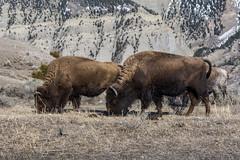 Yellowstone (Timothy D.) Tags: cameraandlens location nationalpark nikond7100 tamron16300mm usa wyoming yellowstone