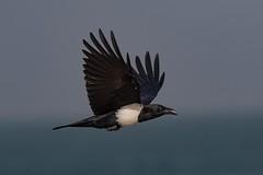 Pied Crow (The Paranoid Birder) Tags: corvidae corvid crow piedcrow birdsinthegambia africa birdsofwestafrica corvusalbus