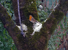 Pettirosso DSC06990 (massimocenedese) Tags: pettirosso nature natura uccelli birds sony a6500
