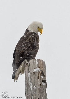 Bald Eagle in the snow.
