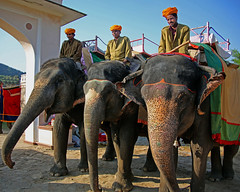 Elephant Jockeys (Steve Mitchell Gallery) Tags: jaipur india travel elephant elephants animals ride riders jockeys