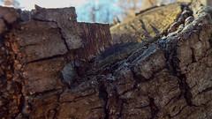 DSCF0467 (AliaGrafica) Tags: wood woods legna alberi trees countryside campagna pattern earth terra macro leaves foglie autunno autumn winter inverno