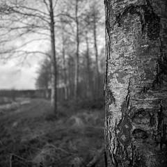 The tree (K.Pihl) Tags: bokeh yellowfilter hasselblad500cm ilfordhp4125200 hc110b nature schwarzweiss film pellicolaanalogica distagon50mmf40 bw blackwhite analog tree