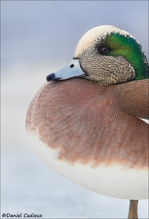 Portly American Wigeon