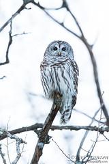 Nocturnal Hunter (tkfranzen) Tags: owl barredowl strixvaria nocturnal saxzimbog birdsofmn tnclivenature winter winter2018 animalplanet
