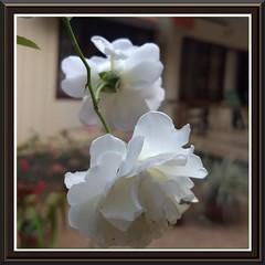 A pair (Abraham Jacob N) Tags: rose flowers nature kottayam kerala india motog5plus