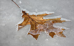 Frozen (Millie Cruz*) Tags: frozen water leaf golden outdoors stoeversdampark lebanonpa nature closeup winter tamron150600 soe