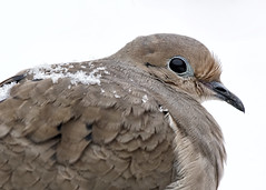 A6308119 (mbisgrove) Tags: a6300 bird feathers dove sal70400g2 sony