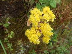 Verode Anual - Aichryson palmense (laxum)