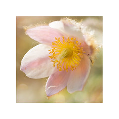 Dream (BirgittaSjostedt- away for a while.) Tags: flower soft single alone texture pastel pink paint unique art beauty closeup birgittasjostedt pasqueflower ladyofthesnow macro