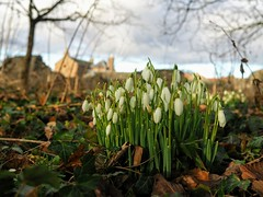 Early Spring Show. (Flyingpast) Tags: flowers snowdrops pretty bunch white nature display outdoors spring