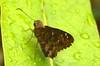 Hesperiidae - Urbanus dorantes ? (robertoguerra10) Tags: urbanus dorantes hesperiidae butterfly borboleta