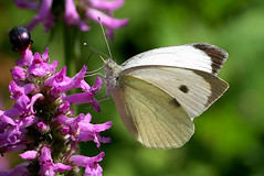 Purplexed (Ger Bosma) Tags: 2mg245645 grootkoolwitje pierisbrassicae largewhite largecabbagewhite groser grosekohlweisling piérideduchou blancadelacol cavolaiamaggiore borboletadacouve bielinekkapustnik капустница feeding flower summer purple white