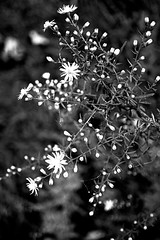 untitled (larrynunziato) Tags: bwfloral wildflowers straightphotography visualpoetry simplicity