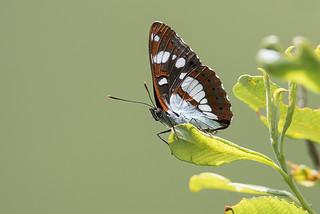 Sylvain azuré (Limenitis reducta)