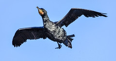in flight shakedown (Paul Wrights Reserved) Tags: cormorant bird birds birding birdphotography birdinflight beautiful beak shake water droplets