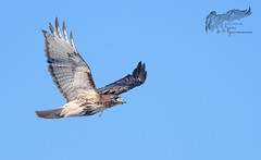 George Jr. with twig 2_19 (krisinct- Thanks for 15 Million views!) Tags: nikon d500 300 f28 dii 14x red tail hawk