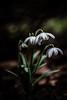 Ray of light (Matthew Johnson1) Tags: contrast manualfocus 30mm 14 sigma blurry nature leaves petals garden spring flower droplets light hidden outdoor snowdrops