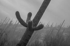 Tum06_small (patcaribou) Tags: tucson tumamochill sonorandesert fog cactii saguarocactus
