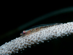 Wire coral goby (2UC4 488473) Tags: goby wirecoral coral blackcoral lucaabbate macro underwater sea dive scuba g16 blue ocean nature fantasea abyss lipe thailand kohlipe oceanprodivers fish
