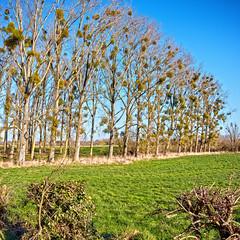 Mistletoe (enneafive) Tags: mistletoe poplar hesbania borgloon green grass trees parasite fujifilm xt2
