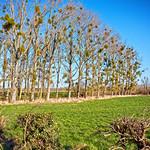 Mistletoe thumbnail