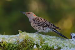 Northern Red-shafted Flicker (Martin Dollenkamp) Tags: vancouverisland woodpecker britishcolumbia northernredshaftedflicker flicker colaptesauratus nature birds