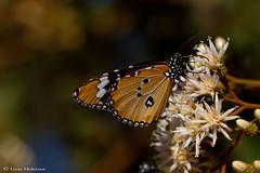 African Monarch ( Plain Tiger) - Afrika-Porselein (Danaus chrysippus orientis) (leendert3) Tags: leonmolenaar nature wildlife africanmonarchplaintiger ngc npc