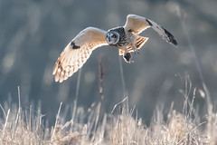 Short Eared Owl and new found friend (PIX SW) Tags: