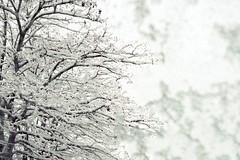 Abrigensemele (Helena de Riquer) Tags: neu nieve snow hivern invierno winter arbre árbol tree 2018 robiniapseudoacacia hiver inverno neige flickr frost frozen natura nature naturaleza naturalesa monochrome monocromo sony sonydschx300 carlzeiss white igualada anoia provinciadebarcelona catalunya cataluña catalonia catalogne europa europe