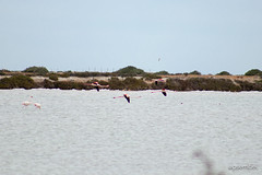 salinas-de-san-pedro-murcia-10 (psemitiel) Tags: flora fauna aves flamencos flamenco vuelo volar laguna salina san pedro pinatar murcia turismo ecologia parque ecologico naturaleza