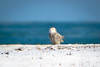 Snowy Owl (Philocycler) Tags: snowyowl chicagolakefront lake lakemichigan owl beautiful ruleofthirds