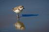 Snowy Plover (halladaybill) Tags: crystalcovestatepark snowyplover newportbeach california unitedstates us orangecounty nikond500 nikkor80400zoomlens threatenedspecies shorebird pacificcoast charadriusnivosus charadriidae