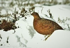 Red Grouse (charlie.syme) Tags: grouse moor heather snow wildlife
