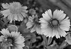 Big Blooms (John Neziol) Tags: jrneziolphotography portrait monochrome blackwhite bokeh brantford beautiful bright macro outdoor gaillardia garden nikon nikondslr nikoncamera nikond80 nature naturallight flower florafauna flowers plant plants closeup blooms bigblooms petal petals leaves leaf