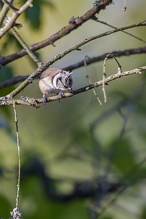 Crested Tit_w_4432