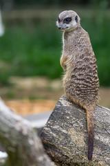 20170612_273 (Thorndike.ar) Tags: cologne deutschland erdmännchen europa europe germany köln meerkat nordrheinwestfalen northrhinewestphalia suricatasuricatta säugetier zoo