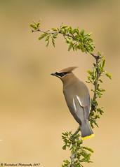 Cedar Waxwing (Raddykrish Photography) Tags: cedarwaxwings waxwing texas 2017 nature naturephotography photography bird birdphotography