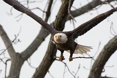 Bald Eagle (Male) (Jesse_in_CT) Tags: baldeagle nikon200500mm