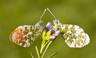 Orange - Tip  Anthocharis cardamines.