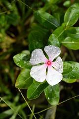 WOL Calauan Laguna Philippines Day 7 (88) (Beadmanhere) Tags: philippines flowers