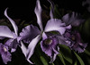 Purple Flowers In The Light (Bill Gracey 18 Million Views) Tags: fleur flowers flores purple color colorful sandiegocountyfair offcameraflash lastoliteezbox softbox directionallight sidelighting nature naturalbeauty delmar cattleya
